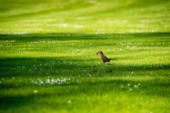 Un uccello laborioso sull'erba Fotografia Stock