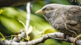 Un uccello marrone su un ramo fotografie stock
