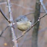Un uccello migratore grasso Fotografie Stock
