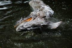 Un uccello nell'acqua Fotografia Stock Libera da Diritti