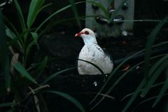 Un uccello nello zoo Sydney di Tazonga fotografia stock libera da diritti