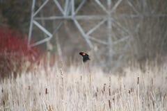Un uccello nero ad ali rosse che si appollaia sui giunchi Immagini Stock Libere da Diritti