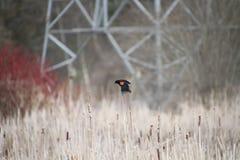 Un uccello nero ad ali rosse che si appollaia sui giunchi Immagini Stock