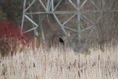 Un uccello nero ad ali rosse che si appollaia sui giunchi Fotografia Stock Libera da Diritti
