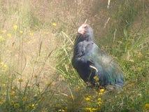 Un uccello non-volatore: Takahe fotografia stock libera da diritti