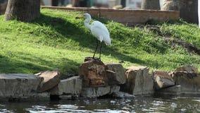 Un uccello pesca un pesce e lo ha mangiato stock footage
