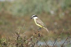 Un uccello piacevole Fotografia Stock