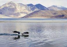 Un uccello sta atterrando nel lago Fotografia Stock Libera da Diritti