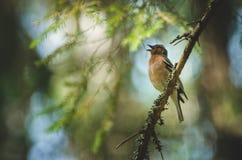 Un uccello sta cantando su un ramo Fotografia Stock Libera da Diritti