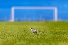 Un uccello su un campo di football americano Calcio Campionato 2018 del mondo Stadio di addestramento della città di Togliatti, r immagini stock