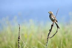 Un uccello su un'erba Fotografia Stock
