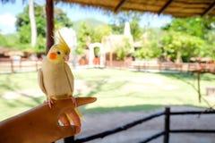 Un uccello sul dito nell'azienda agricola ed arancia della guancia Immagini Stock Libere da Diritti