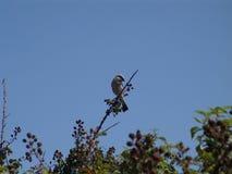 Un uccello sul ramo della mora Immagine Stock Libera da Diritti
