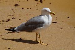 Un uccello sulla spiaggia - Portogallo fotografie stock