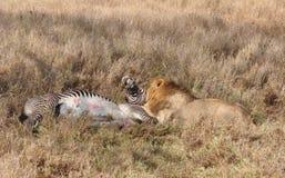 Un'uccisione del leone di una zebra grevy 6 fotografia stock libera da diritti