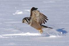 Un ulula nordico di Hawk Owl Surnia che decolla nell'inverno Fotografia Stock Libera da Diritti