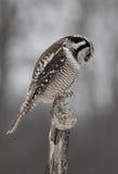 Un ulula nordico di Hawk Owl Surnia in cima ad una posta nell'inverno Fotografia Stock