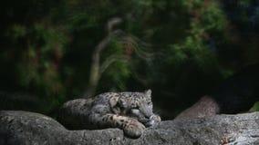 Un uncia Himalayan del Panthera de la onza gandulea en una roca, irbis hermosos en cautiverio en el parque zoológico almacen de video