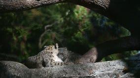 Un uncia Himalayan del Panthera de la onza gandulea en una roca, irbis hermosos en cautiverio en el parque zoológico almacen de metraje de vídeo