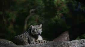 Un uncia Himalayan del Panthera de la onza gandulea en una roca, irbis hermosos en cautiverio en el parque zoológico metrajes