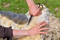 Un uomo abilmente tosa la lana da una pecora Fotografie Stock
