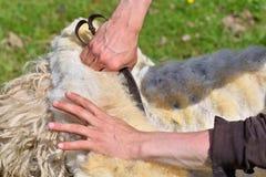 Un uomo abilmente tosa la lana da una pecora Fotografia Stock Libera da Diritti