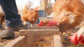 Un uomo alimenta i polli con grano dalla sua mano stock footage