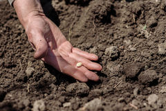 Un uomo anziano che pianta i semi nel giardino Fotografia Stock