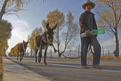 Un uomo anziano cinese ed i suoi asini Fotografia Stock