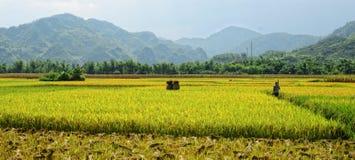 Un uomo che cammina sul giacimento del riso in Tay Ninh, Vietnam Fotografie Stock