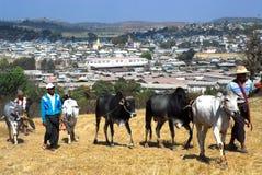 Un uomo che porta la sua mucca commercializzare Fotografia Stock Libera da Diritti
