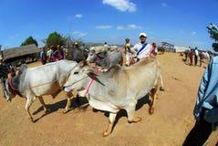 Un uomo che porta la sua mucca commercializzare Immagine Stock