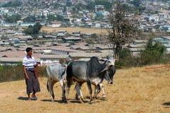 Un uomo che porta la sua mucca commercializzare Fotografie Stock Libere da Diritti