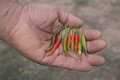Un uomo che tiene i peperoncini rossi e verdi freschi Fotografia Stock