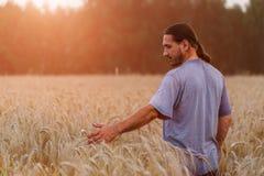 Un uomo con il suo di nuovo allo spettatore in un campo di grano commovente vicino fotografia stock libera da diritti