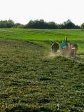 Un uomo di Amish riunisce l'alfalfa di recente tagliato per imballare immagine stock