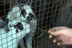 Un uomo privo di un braccio tiene una lama di erba verde per i conigli L'uomo alimenta gli animali in una gabbia immagine stock