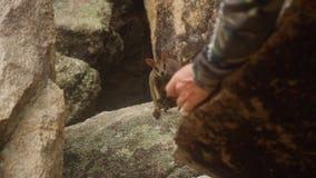 Un uomo prova ad alimentare un wallaby della palude archivi video