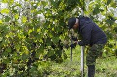 Un uomo raccoglie il raccolto dell'uva Immagini Stock Libere da Diritti