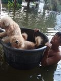 Un uomo sta prendendo i suoi cani alla sicurezza in una via sommersa di Pathum Thani, Tailandia, nell'ottobre 2011 fotografie stock libere da diritti