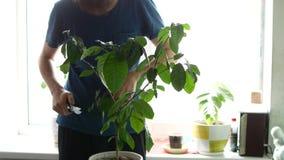 Un uomo sta tagliando una pianta della casa Il tipo taglia i rami sul limone archivi video