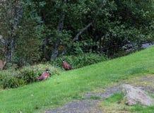 Un urogallo di due Scottish sul lato della strada Fotografia Stock