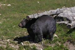 Un Ursus d'ours noir américanus rayant son dos un automne d'identifiez-vous dans le Canada photo stock