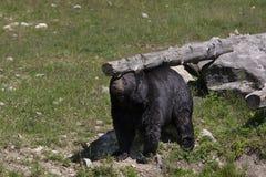 Un Ursus d'ours noir américanus rayant son dos un automne d'identifiez-vous dans le Canada image libre de droits