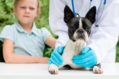 Un vétérinaire examinant un petit chien de Boston Terrier Photographie stock libre de droits