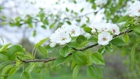 Un v?deo de una rama floreciente del albaricoque despu?s de la lluvia en el viento Una rama de un ?rbol de la primavera despu?s d metrajes