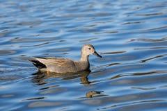 Un varón del pato del pato zambullidor en agua azul imagenes de archivo