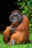 Un varón dominante grande que se sienta en la hierba indonesia La isla de Kalimantan Borneo fotografía de archivo libre de regalías