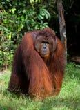 Un varón dominante grande que se sienta en la hierba indonesia La isla de Kalimantan Borneo imagenes de archivo