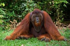 Un varón dominante grande que se sienta en la hierba indonesia La isla de Kalimantan Borneo foto de archivo